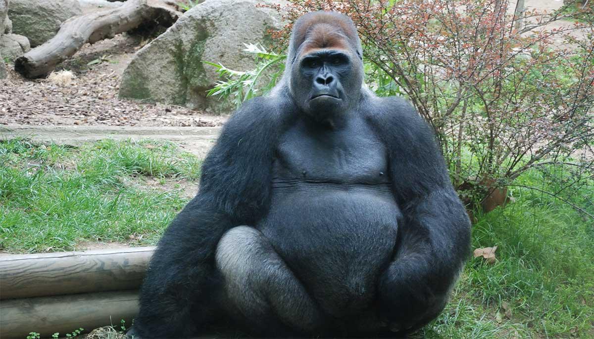 Gorilla at the Barcelona Zoo